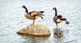 Hokey Pokey Geese DSCF5411
