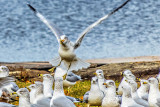 Gull Taking Flight DSCF5536