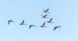Eight Swans In Flight P1230427