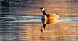 Lone Swimming Goose DSCF5625