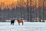 Winter Horses At Sunrise P1240261-3