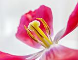 Wilting Tulip P1240568-70
