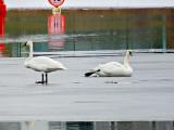 Swans On Ice DSCF5784