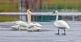 Three Swans On Ice DSCF5794