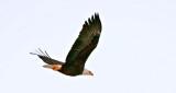 Bald Eagle In Flight P1020899