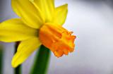 Miniature Daffodil P1030014-6