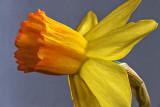 Miniature Daffodil Closeup P1030327-8