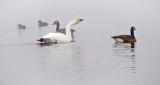 Ducks Geese & Swan In Fog P1030425