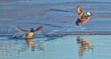 Hooded Mergansers Taking Flight DSCF6160
