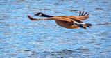 Goose In Flight DSCF6327