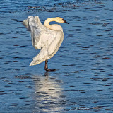 Stretching Swan On Ice DSCF6405