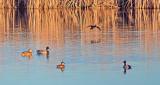 Ducks In The Swale DSCF6419