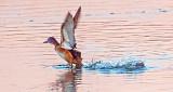 Duck Taking Flight DSCF6453