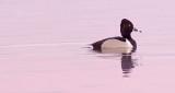 Ring-necked Duck At Sunrise DSCF6448