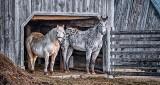 Two Horses In Their Barn Door P1040707-9