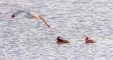 Gull Photobombs Hooded Mergansers DSCF6693