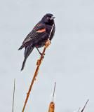 Red-winged Blackbird DSCF6584