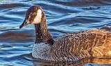 Wetback Goose DSCF6354