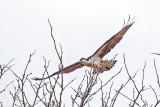 Osprey In Flight DSCF6880