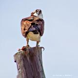 Osprey On A Pole S0036931
