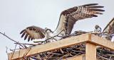 Ospreys In Nest DSCF6879