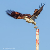Osprey Taking Flight S0237061