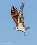 Osprey In Flight S0237063