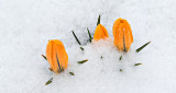 Crocuses In Snow P1050071.4