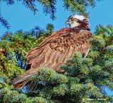 Osprey In A Pine Tree S0227304