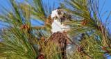 Peekaboo Osprey S0117263