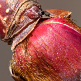 Tree Bud P1040668-73 (crop)