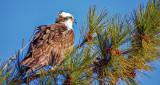 Osprey In A Pine Tree S0167280