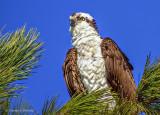 Osprey In A Pine Tree S0237372