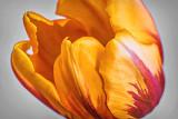 Yellow & Burgundy Tulip P1050121-6