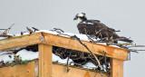 Snowy Osprey Nest S0017398-9