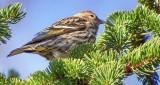 Pine Siskin S0157522