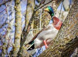 Mallard In A Tree DSCF7593