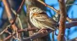 Vesper Sparrow DSCF7660