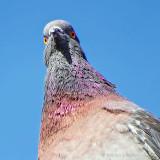 Getting The Pigeon Evil Eye DSCF7790