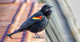 Blackbird On A Bridge Railing DSCF7823