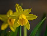 Miniature Daffodil P1050702-10