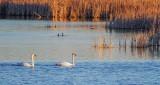 Swans In The Swale DSCF8601