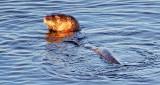 Otter In The Swale DSCF8640
