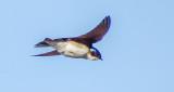 Swallow In Flight DSCF9050