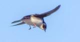 Swallow In Flight DSCF9041