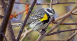 Yellow-rumped Warbler DSCF9171