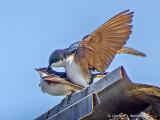 Frisky Swallows DSCF9253