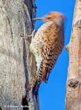 Woodpecker Pecking DSCF9217-9