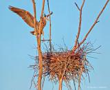 Returning Heron At Sunrise DSCF9346.9