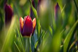 2016 Tulip Festival P1060400
